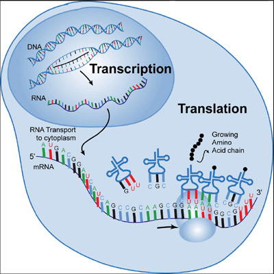 Dna rna and protein synthesis essay