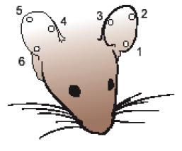 Mouse identification methods - Biomethodology for Laboratory Mice