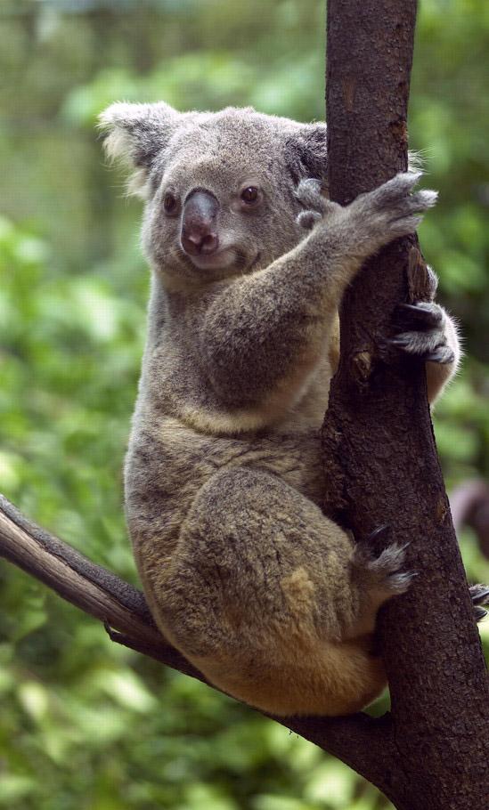 Koala coloring page - KOALA coloring pages