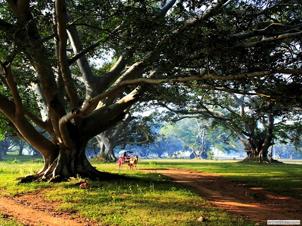 Pindaya Myanmar  city pictures gallery : Old banyan trees, Pindaya, Myanmar photo
