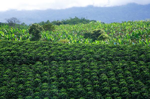 coffee plantation the coffee region colombia photo. Black Bedroom Furniture Sets. Home Design Ideas
